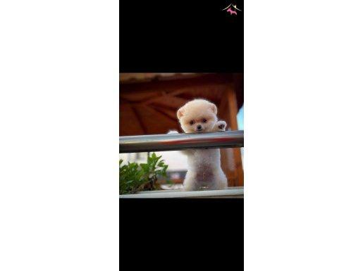 Enn Güzelinden Pomeranian Boo yavrumuz