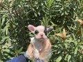 Orijinal kısa kuyruk basık burun fransız bulldog yavruları