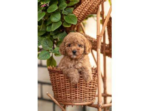 Show clas Red toy poodle
