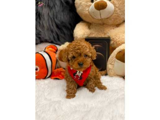 MİNİ TEA CUP RED BROWN TOY POODLE