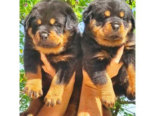 Koca kafa rottweiler yavruları