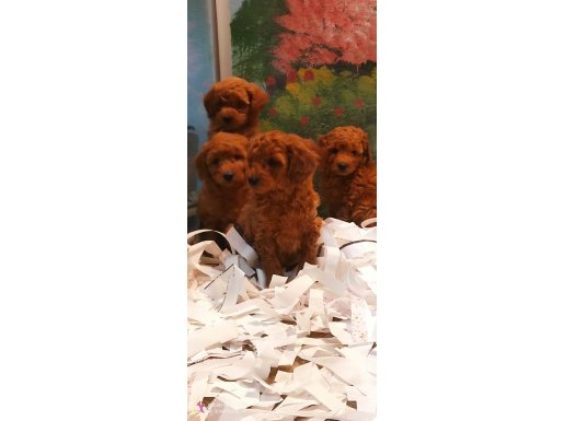 Poodle yavrular