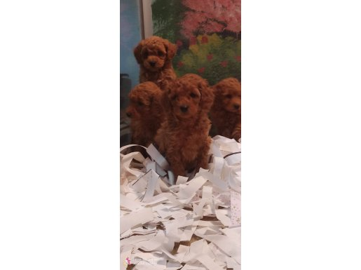 Toy poodle yavrulari
