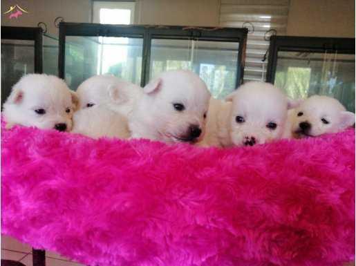 Beyaz spit yavrularımız