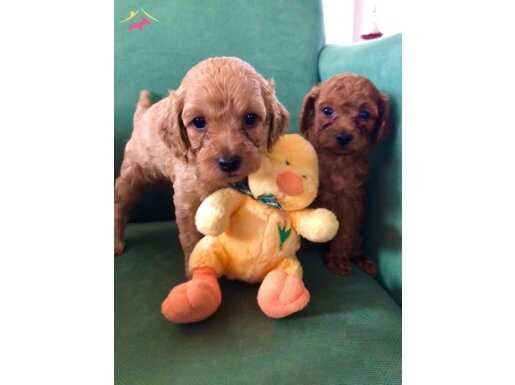 Orijinal toy poodle