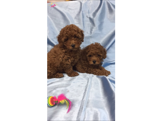 ORJINAL RED TOY POODLE