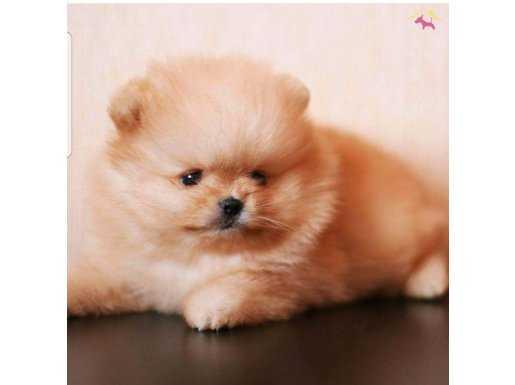 Pomeranian Boo Renk Seçenekleri Dişi ve Erkek Yavrular
