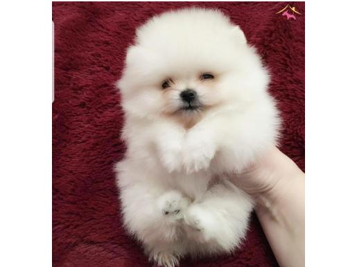 Satılık Pomeranian Boo Yavrular
