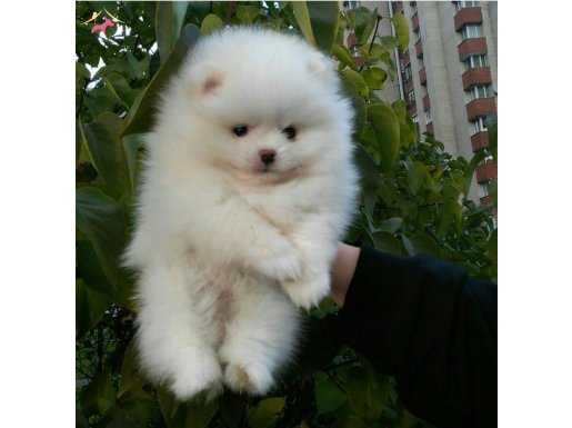 Beyaz Pomeranian Boo Dişi Erkek Yavrular