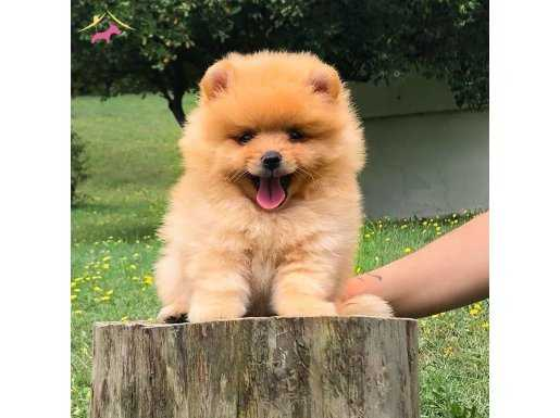 Pomeranian Boo Pasaportlu Karneli Yavrular
