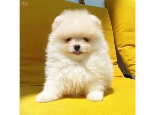 Pomeranian Boo Safkan pasaportlu karneli yavrularımız