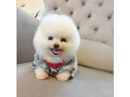 Pomeranian Boo Orjinal Teddy Face Yavrularımız