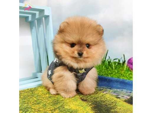 Orjinal Pomeranian Boo Safkan Yavrularımız