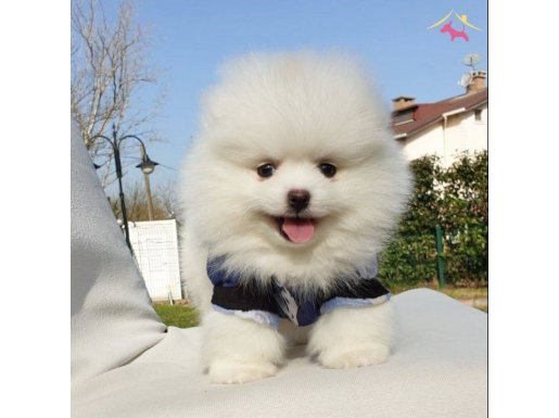 Teddy Bear Ayı Surat Pomeranian Boo Yavrularımız