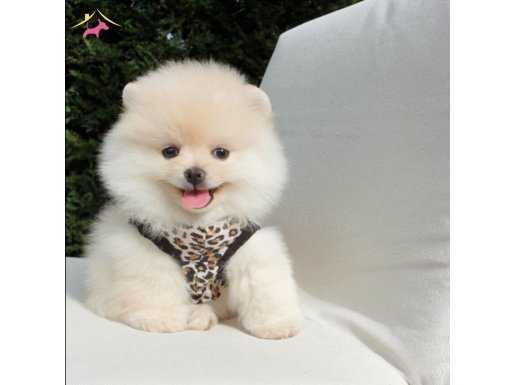 Teddy Face Pomeranian Boo Safkan yavrularımız