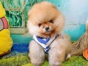Safkan Boo Pomeranian yavrularımız