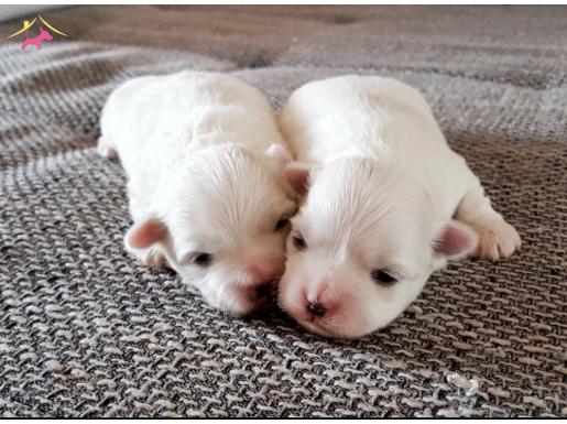 Orjinal Mini boy Maltese Terrier,Microchipli,AB Pasaportlu