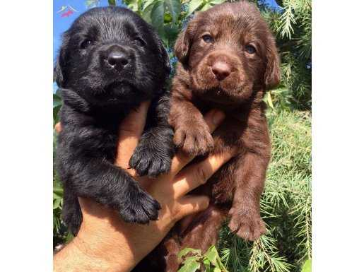 Irk Garantili Labrador Retrievet yavrularımız
