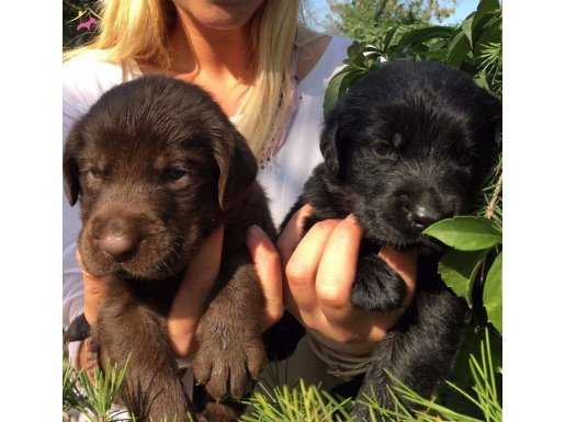 Orjinal Labrador Retriever Yavrularımkz