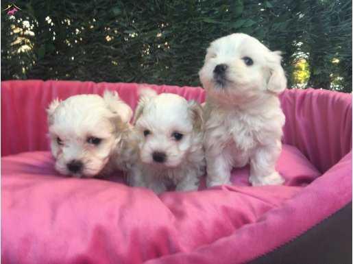 Orjinal Mini Boy  Maltese Terrier Yavrularımız
