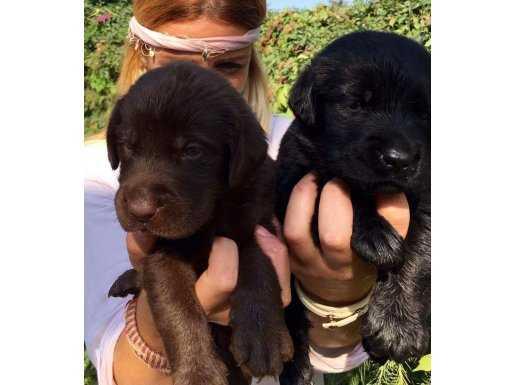 Saf Irk Çikolata/Siyah Labrador Retriever Yavrularımız