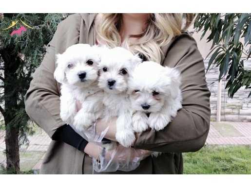 Mükemmel Maltese Terrier Bebekler