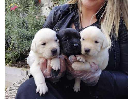 Saf Irk Labrador Retriever Yavrularımız