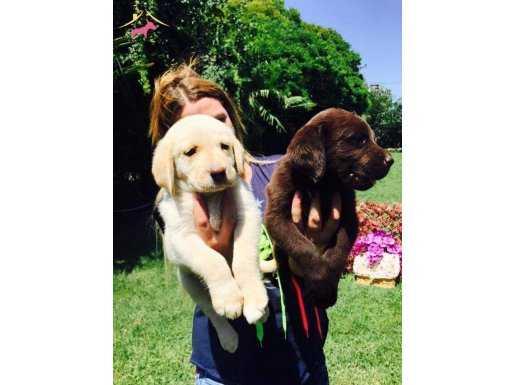 Irk Garantili Labrador Retriever Yavrularımız