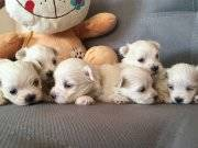 Small Beden Saf Irk Maltese Terrier