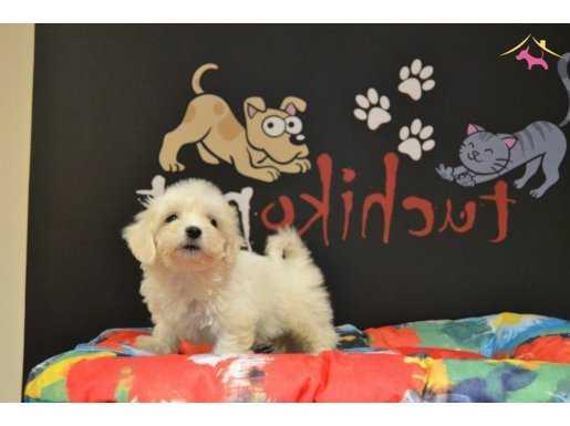 Teacup maltese terier