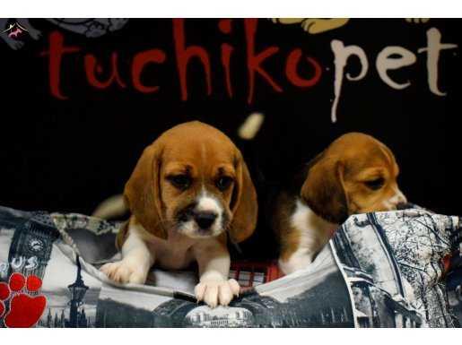 mükemmel beagle yavrularımız
