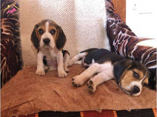 beagle yavrularımız yenı sahiplerını beklıyor