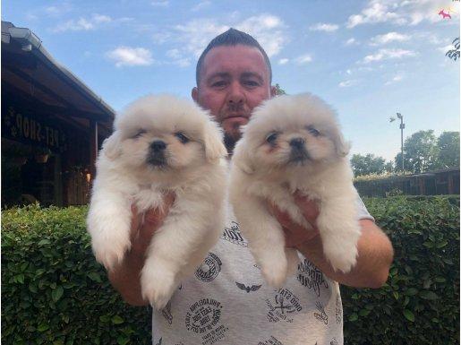 Beyaz Pekingese Yavrularımız