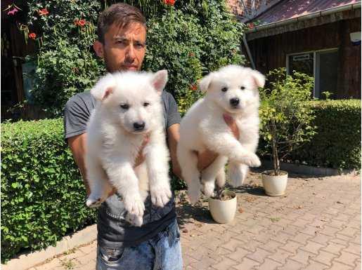 Beyaz Alman Kurdu Yavrularımız