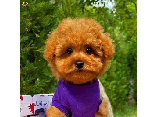 A kalite Secereli Toy Poodle yavrularımız