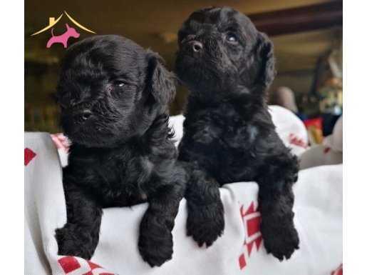 Xs Black toy Poodle yavrusu