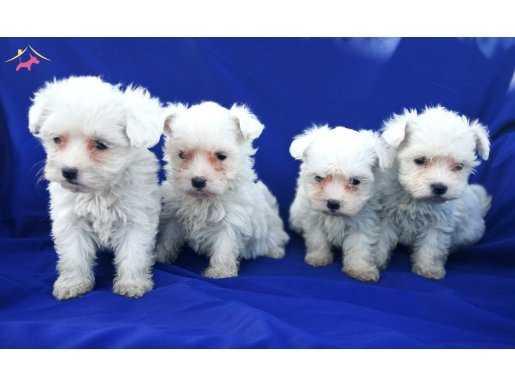 MAltese terrier yavrular