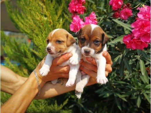 Jack russel terrier yavrularımız