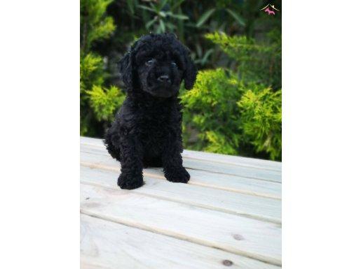 Toy Poodle yavru - Black