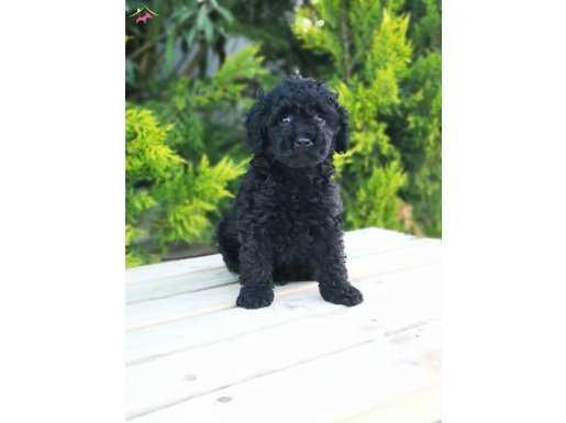 Orjinal Poodle yavrusu - Toy Black