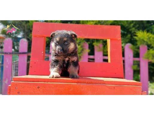 Alman Çoban Köpeği Yavru
