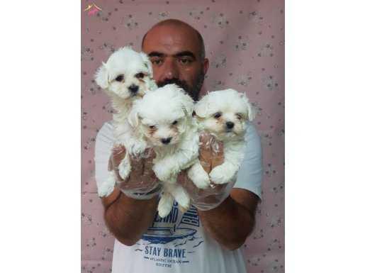 Kore kan maltese terrier yavrularımız
