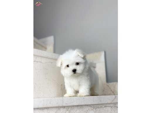 Orjinal 0 Numara Safkan Maltese Terrier Yavrularımız