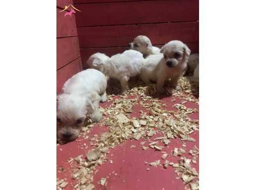 Üreticiden 0 Numara Maltese Terrier Yavruları
