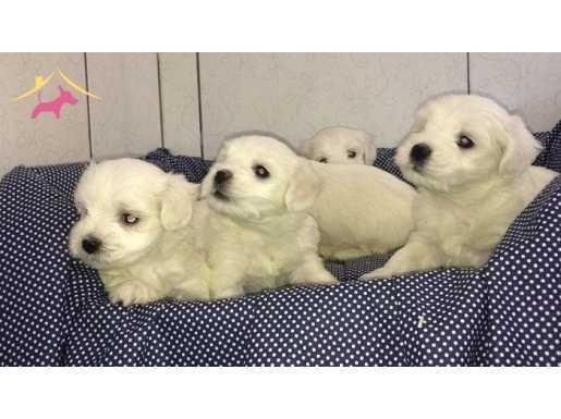 Mükemmel kalitede Maltese Terrier yavrusu