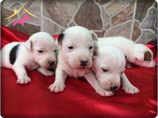 Satılık Jack Russel Terrier yavrusu