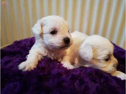 Terrier Maltes yavrusu