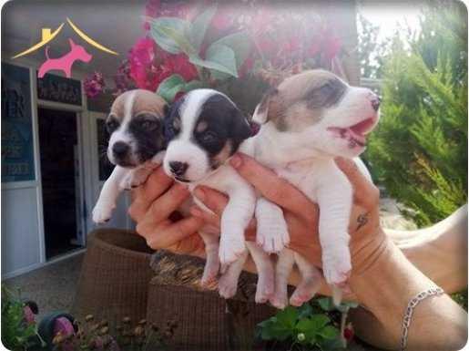 Ruhsatlı Çiftlikten Jack Russel terrier yavruları