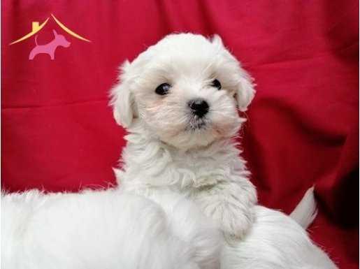 Maltese Terrier yavrusu  Bursa