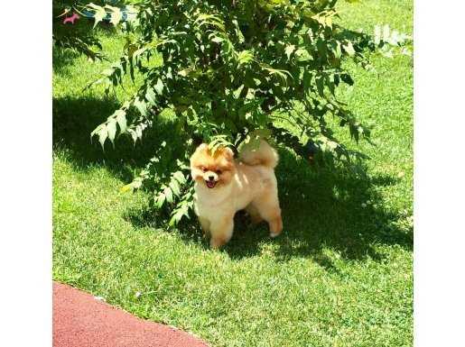Irk Belgeli Secereli Pomeranian Boo